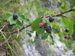 Fruits de l' Amélanchier