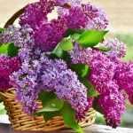 Recette gelée de fleurs de lilas