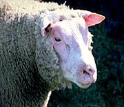 Agneau, mouton