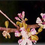 fleur de pommier cidre