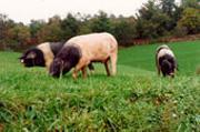 porcs de Bayeux