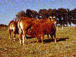 Boeuf du Limousin