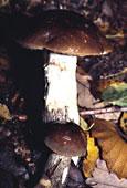 Champignon sauvage ou des bois
