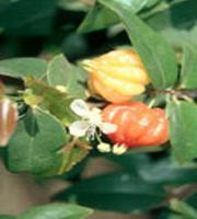 Cerisier de Cayenne