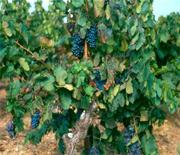 Vin du languedoc-Roussillon