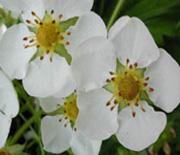 fleurs d abricot