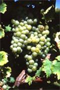 Vin des Côtes de Duras