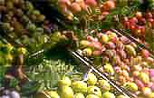 Fruits et Alcools de la tentation