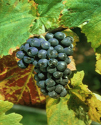 Vin de Chablis