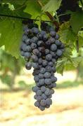 Vin du Gard