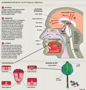 le gout interprété par le cerveau