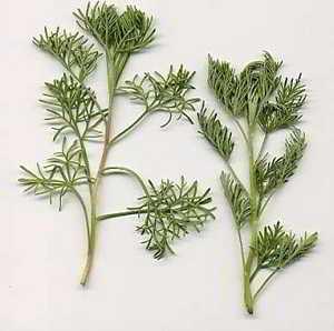 Plante arquebuse