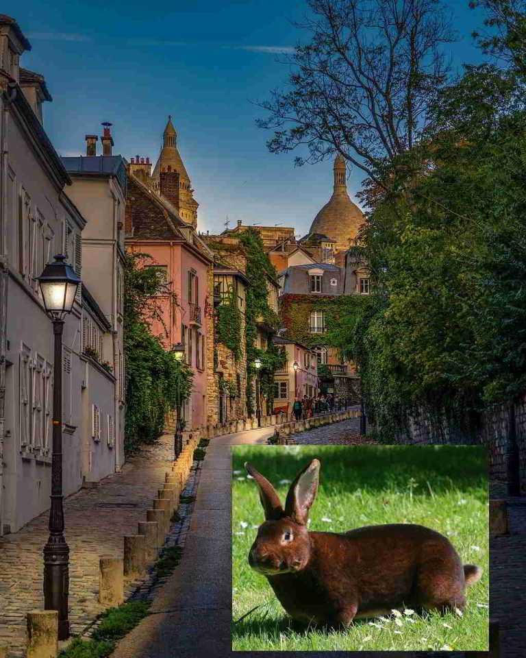 Lapin Rex du Poitou à Montmartre - Paris